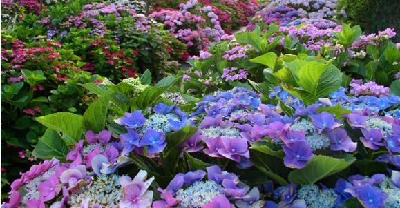 Ullmann Hortensien Garten